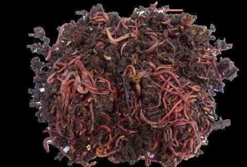 Vers de compost - eisenia fetida achat